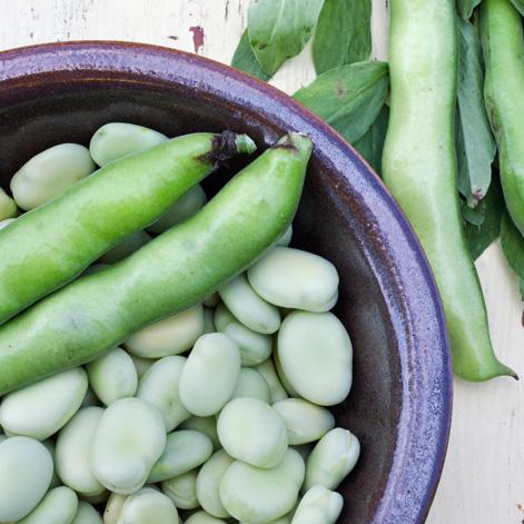 Fava beans | Nuova terra